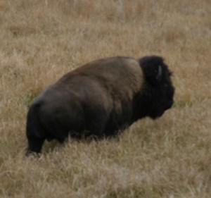 buffalo1_bozemantrip