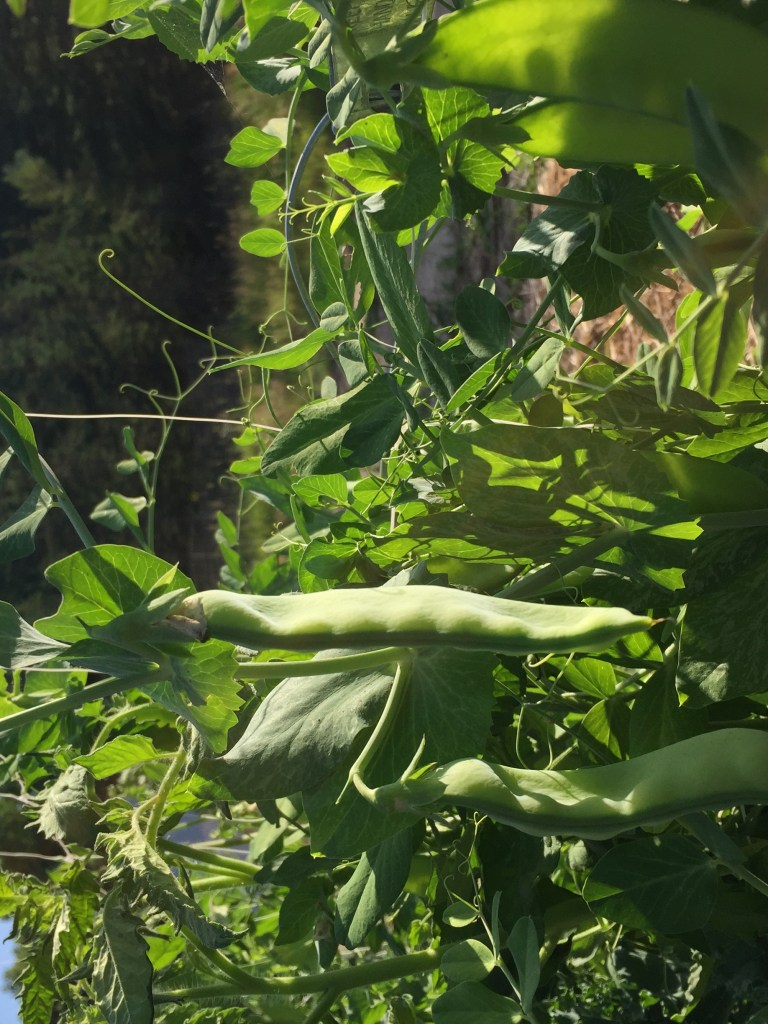 harvesting fresh peas in the morning light
