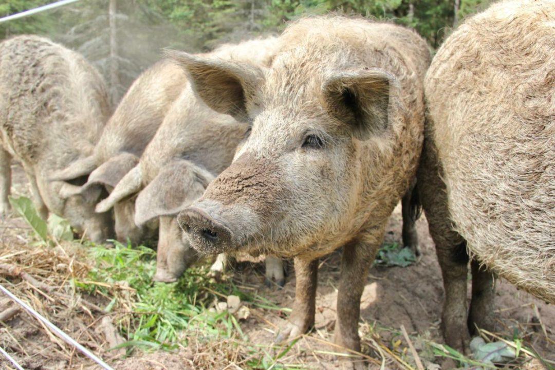 mangalica pigs eating garden greens