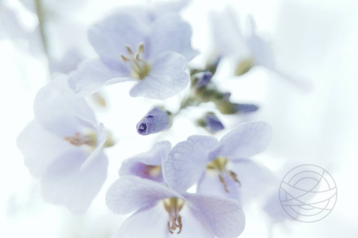 Veiled In LilacImpressionistic fine art nature photography