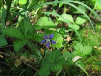 Viola sp. Oglebay Park, Wheeling WV
