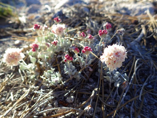 Eriogonum ovalifolium on the ridge above Little Valley, Northern Sierra