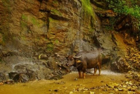 Water Buffalo. Literally.