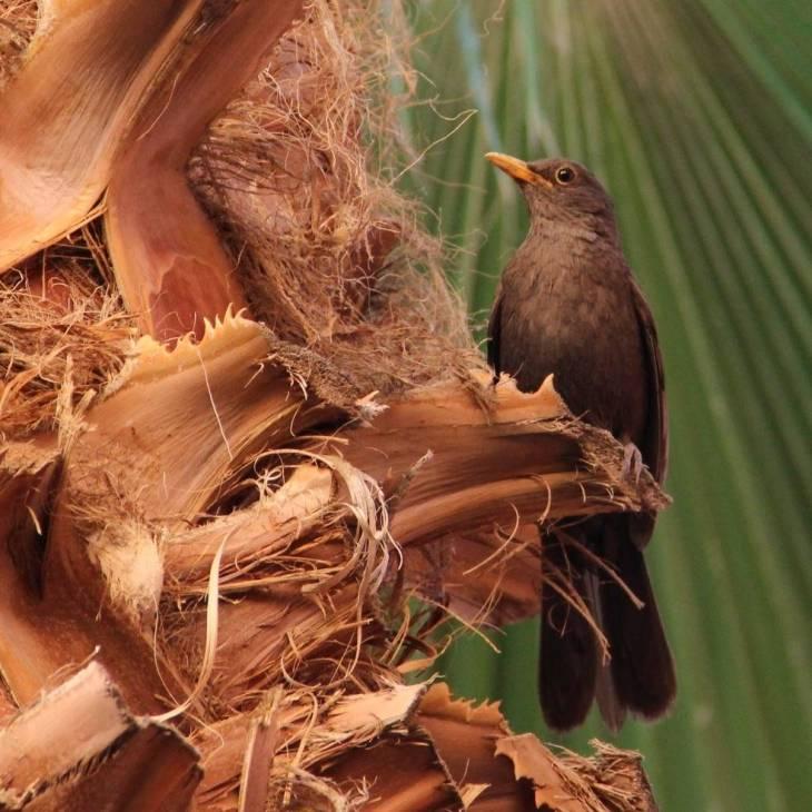 Salut l'oiseau réveil chanteur, sur la branche du palmier