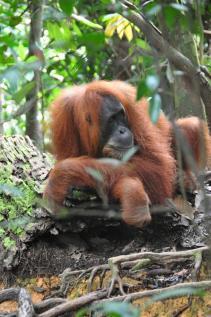 Orang-outang photographié par Nick et son D90