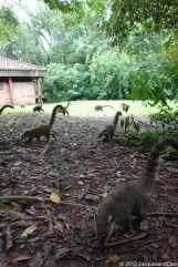 Plenty of coatis, sometimes begging food