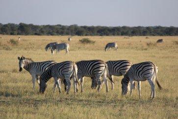 Other Zebras