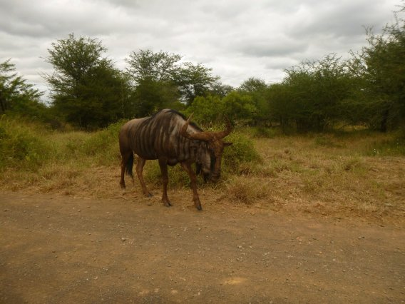 A lonely gnou or wildebeest