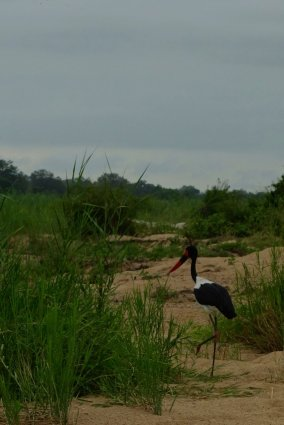 The day of the big bird, we could spot a Saddle-billed stork going fishing