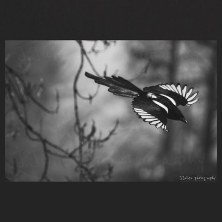 Diving Magpie – Art Photo Print