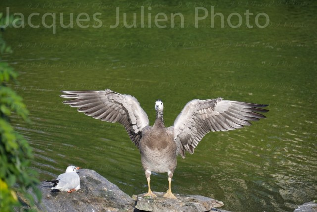 Goose with spread wings – Stock photo