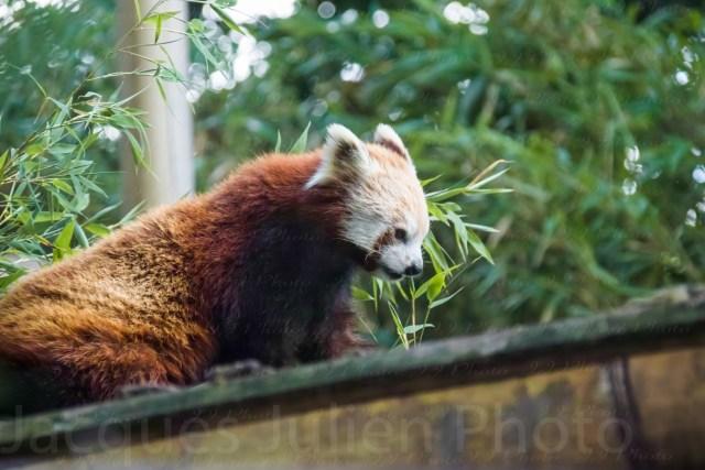 Panda roux – Photo Stock