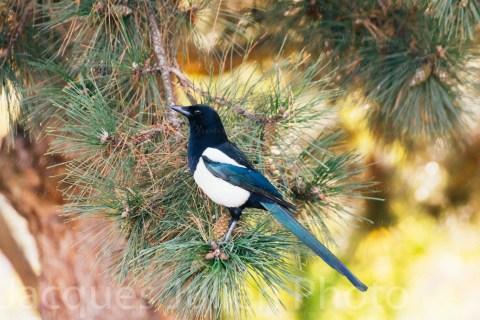 Magpie bird on a pine tree