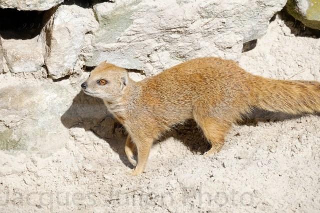Mongoose jaune – Photo stock