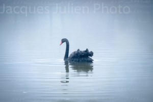 The Black Swan –  Analysis and Photo Gallery