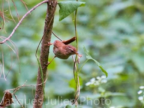 Eurasian wren (Troglodytidae) – Bird Photo