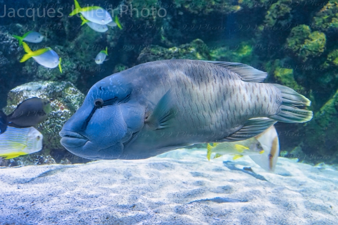 gros poisson bleu photographie