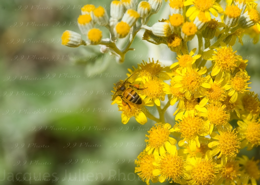 Fleurs art photographie abeille