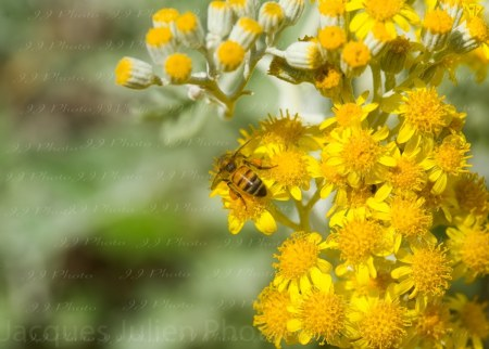 Bee on yellow flowers – Art Photo