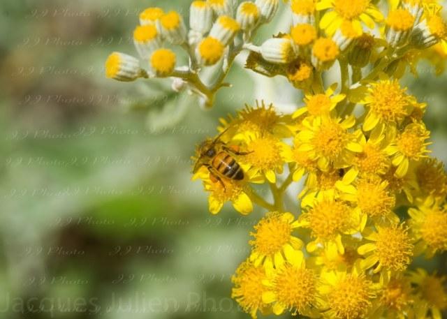 Abeille sur des fleurs jaunes – Photo d'art
