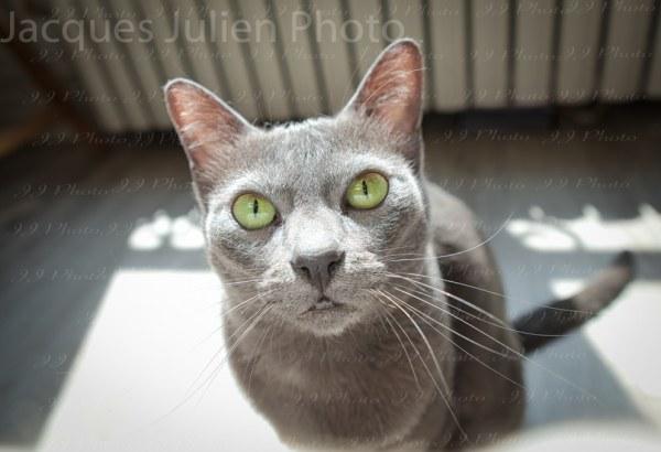 Purebred Korat Grey Kitten Photography