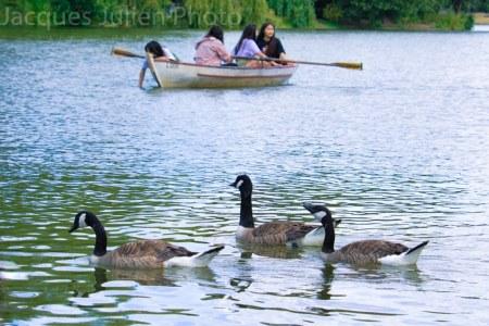 Groupe d'oies sur un lac avec une barque