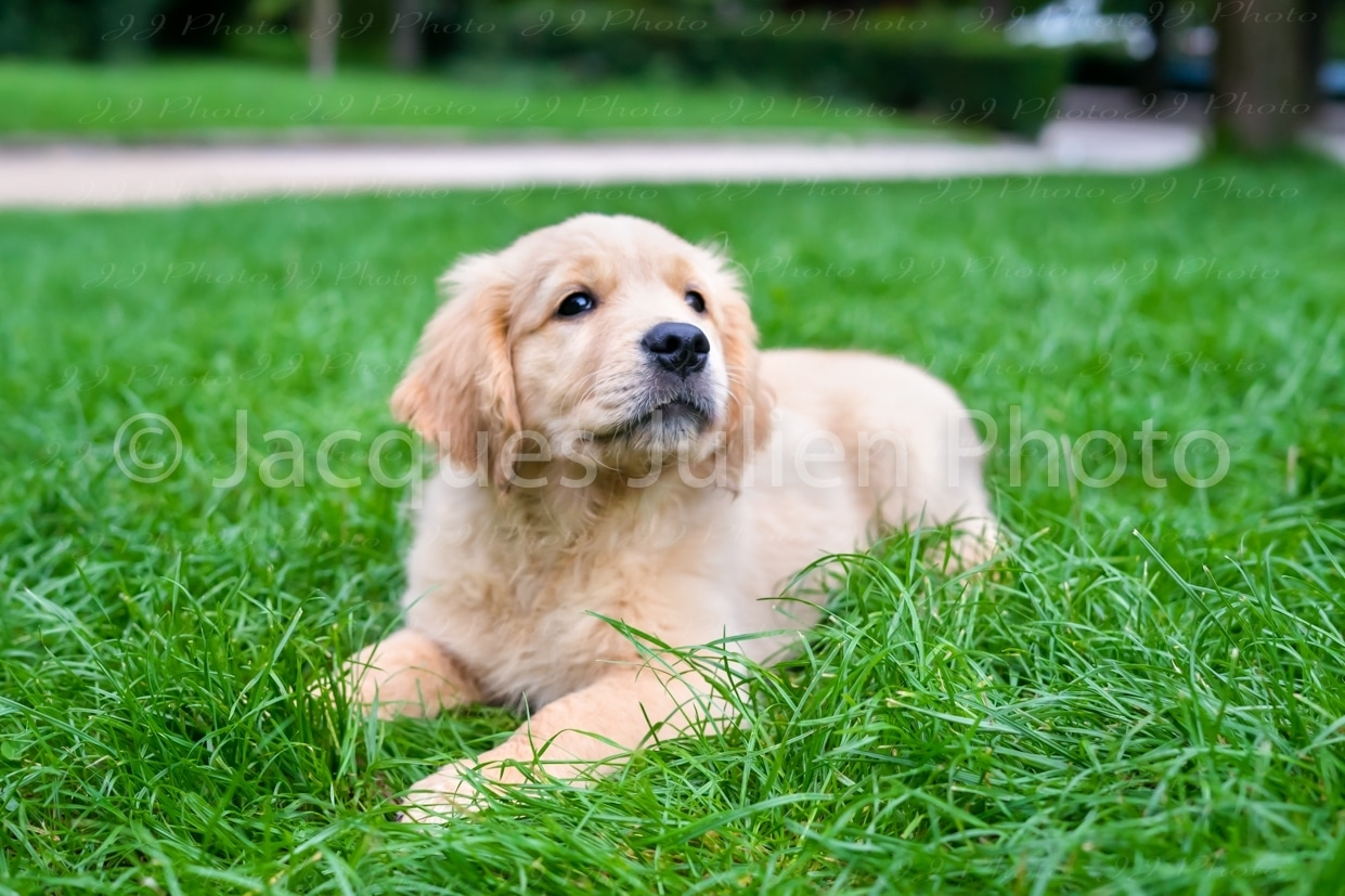 purebred puppy pet image