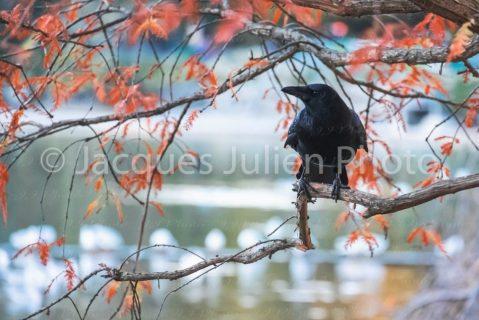 Crow perching on a tree – Art Photo