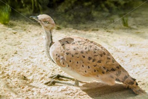 Asian Houbara Bird – Stock photo