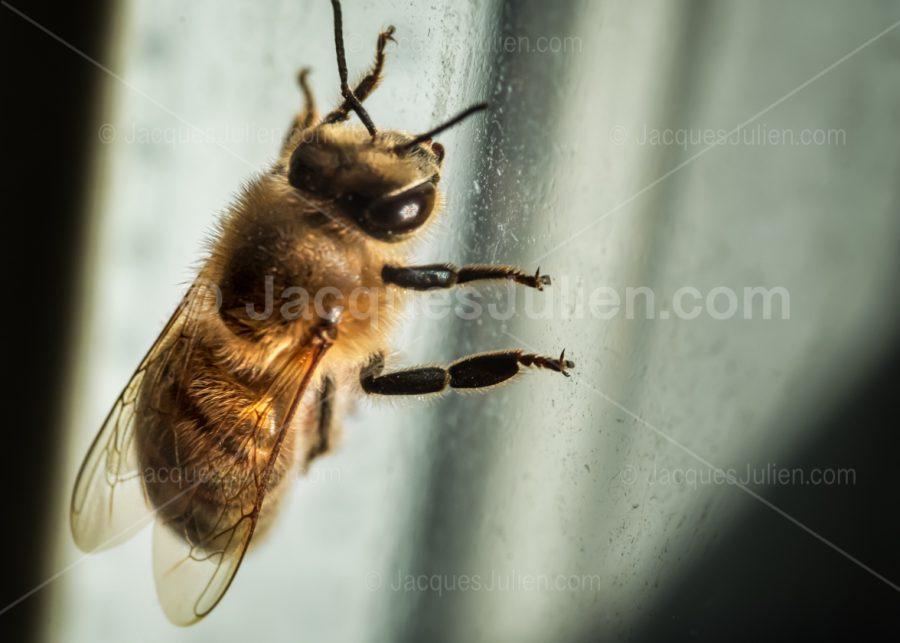 photographie macro d'une abeille sur une vitre