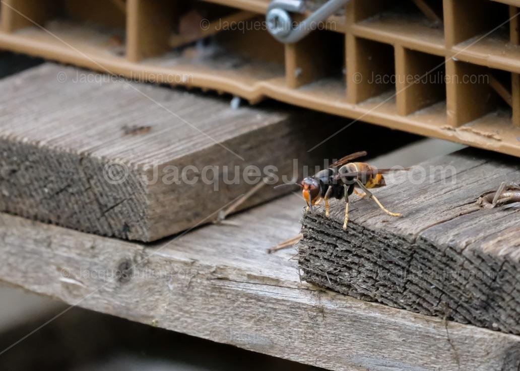 frelon à pattes jaunes sur une ruche d'abeilles