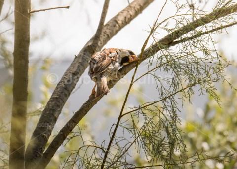 Sparrow bird suffering of the heatwave