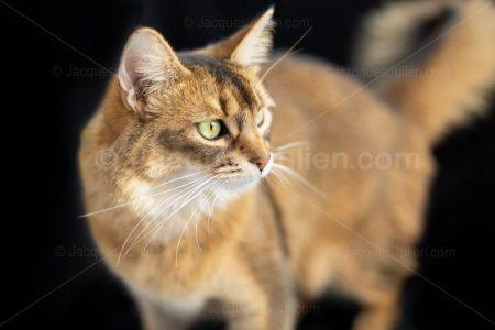 portrait de chat roux sur fond noir