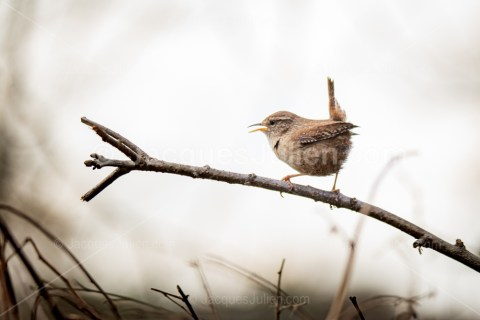 Wren bird singing