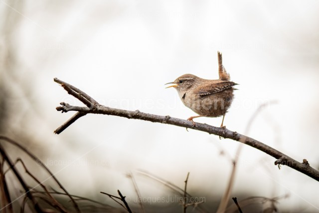 Wren bird singing