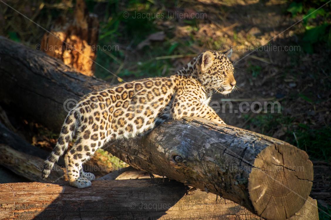 big cat panther