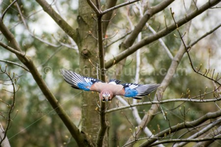 beautiful jay flying