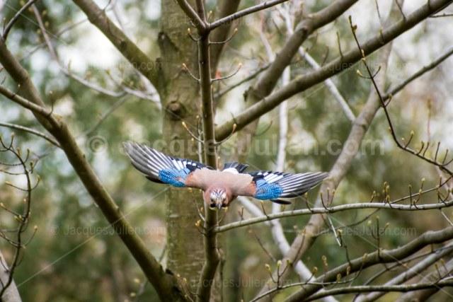 Geai des chênes (Garrulus glandarius) – Image d'oiseau