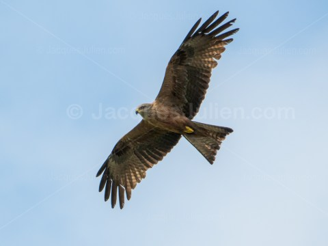 Black kite – Bird photo to download