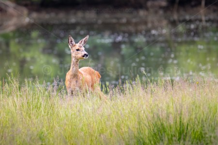 Female deer – Animal Photo to download