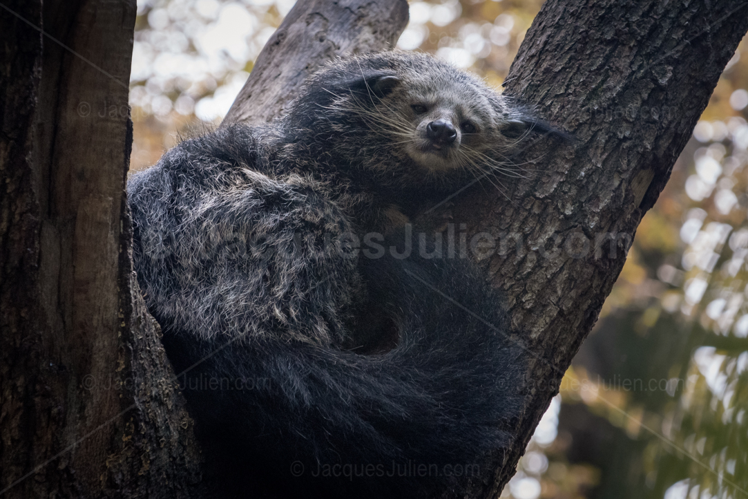 binturong sleeping on a tree