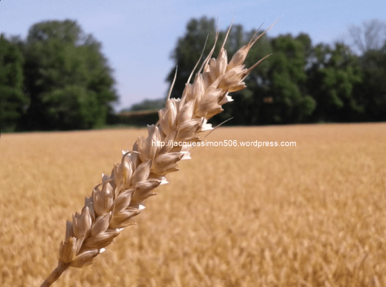 Soft Red Wheat (actually Gold color in Ohio)16.6.17