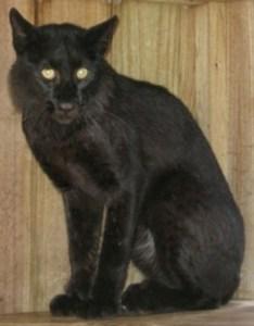Melanistic bobcat caught in Martin County (Photo Busch Wildlife Center)
