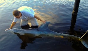 A large 7 foot  male dolphin dead along the banks of the St Lucie River, 2012 (Photo Nic Mader)