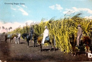 Historic postcard ca. 1910 Sugar Cane. Postcard courtesy of Sandra Henderson Thurlow.