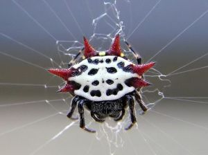 spiny orb spider