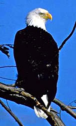 The Bald Eagle, (Public Photo)