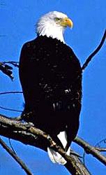 The Bald Eagle, (Public Photo)