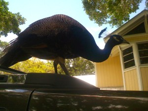 Peahen in Sewall's Point at my house on Ed's car, 2008. Photo JTL.