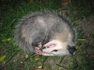 Opossum plays dead to ward off attackers. As soon as attackers leave the area, the opossum will walk safely away. (Public photo)